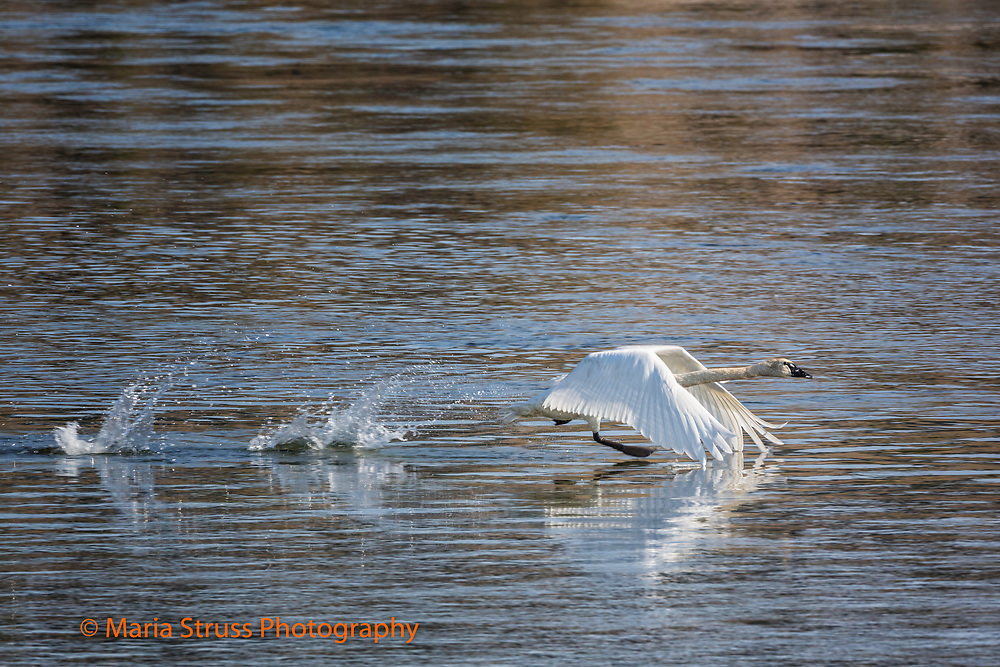 The trumpeter swan is the heaviest native North American bird.  The swan's wing span can reach 10 feet and breeds in wetlands from Alaska to the Northwest United States.  Due to their size and weight they require a long distance to become airborne.