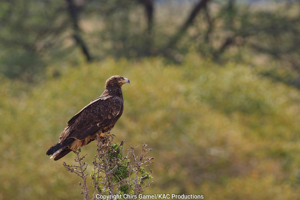 Tawny Eagle (Aquila rapax) perched on a bush, Serengeti National Park, Tanzania, Africa; bird of prey; carnivore National Park, Tanzania, Africa; bird of prey; carnivore; dry season