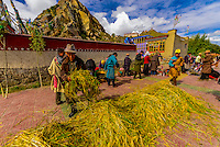 Local farmers make offering to the Gods before starting their harvest, near Shigatse, Tibet (Xizang), China.