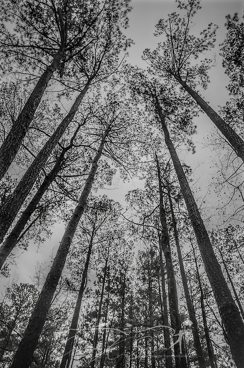 Pine trees reach for the sky in Jeff Busby Park, along the Natchez Trace near Ackerman, Miss. (Photo by Carmen K. Sisson/Cloudybright)