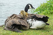 © Licensed to London News Pictures. 26/05/2014. Hampton Wick, UK. Three goslings peek out of the mothers protective wing.  A mother Canadian goose protects her young goslings from heavy bank holiday rain on the banks of the River Thames at Hampton Wick today 26th May 2014. Photo credit : Stephen Simpson/LNP