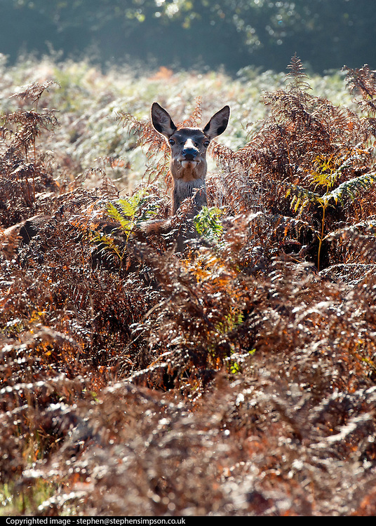 © Licensed to London News Pictures. 04/11/2014. Richmond, UK. Deer look out from their hiding place in the autumnal bracken.  People and animals enjoy the warm sunshine in Richmond Park, Surrey today 4th November. Britain has experienced unseasonably warm weather recently.  Photo credit : Stephen Simpson/LNP