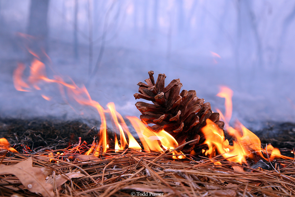 Fire burns over a longleaf pine cone in the Sandhills Gamelands of North Carolina. Many plants in a longleaf pine forest need fire to help germinate their seeds.