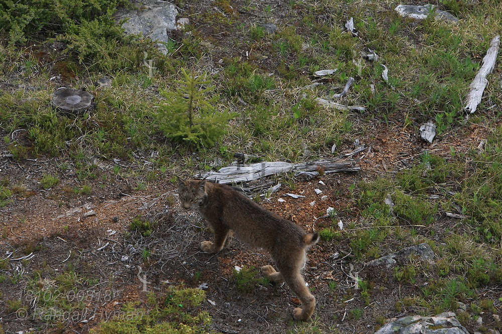 Canada lynx (Lynx canadensis) walks along hillside on a late summer afternoon above Lake Louise in the Bow River Valley of Banff National Park, Alberta, Canada.