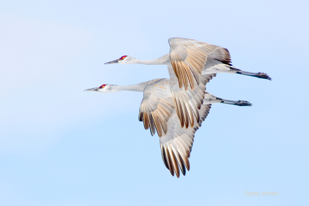 Every now and then, the perfect elements come together for a photographer and this was my day with two sandhill cranes in perfect unison in perfect light.