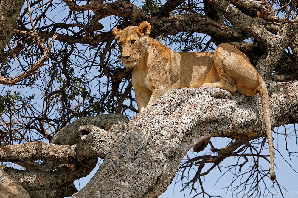 Africa, Kenya, Maasai Mara. A female lion resting in a tree.