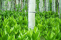 Corn lily covered forest floor among the aspen trees provide a view of green plant life seen no where else. Utah's Alpine Loop provides spectacular Spring scenery.