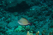 Brown Surgeonfish, Lanai Hawaii