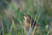 A marsh wren (Cistothorus palustris) looks for food in the tall grass near Skagit Bay near Mount Vernon, Washington.