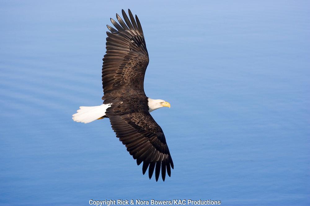 Bald Eagle .Haliaeetus leucocephalus.Homer, ALASKA, USA.February     Adult in flight, upper surface.     Accipitridae