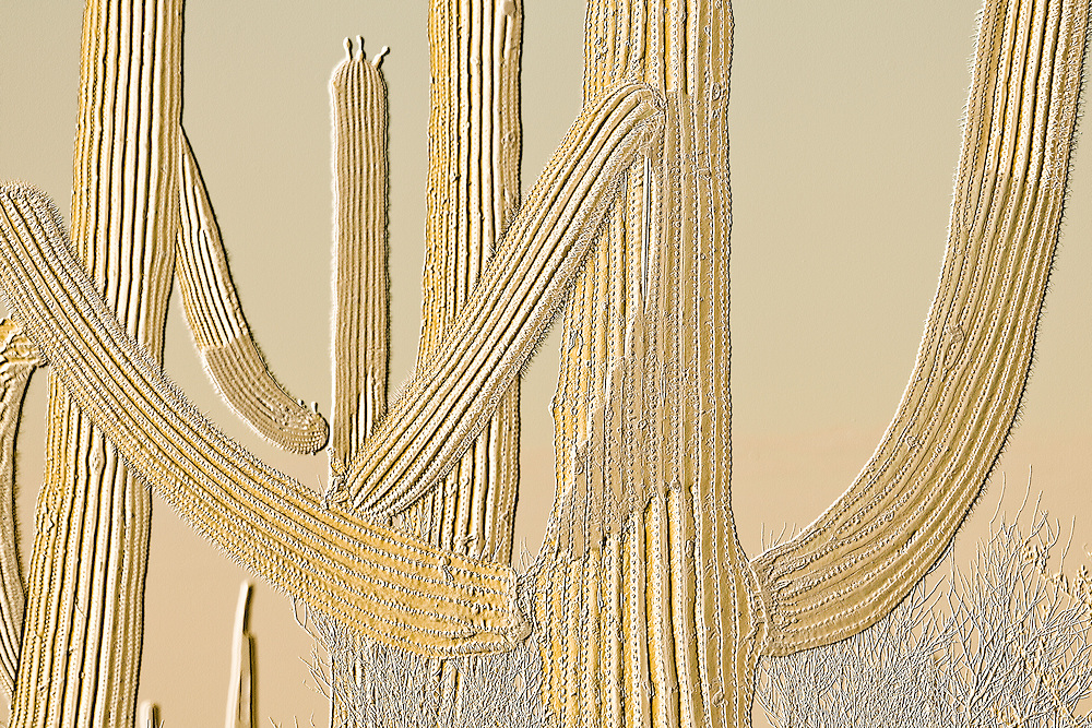 Saguaro cacti in Saguaro National Park, Tucson, Arizona