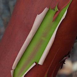 Peeling Bark of Madrona Tree (Arbutus menziesii) at English Camp, San Juan Island, Washington, US