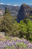 Lupine blooms adorn the hillsides surrounding the Hetch Hetchy Reservoir, Yosemite National Park