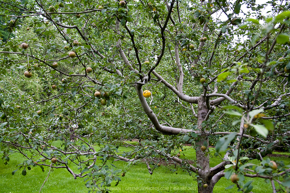 Apple tree with insect trap in tree.