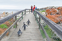 African Penguins walking along the boardwalk that was errected for visitor management, Bettys Bay Marine Protected Area, Western Cape, South Africa