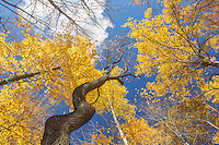 A tree, that was once strangled by a wild grape vine and still bears the shape of the vine's grip, reaches for the blue autumn sky.