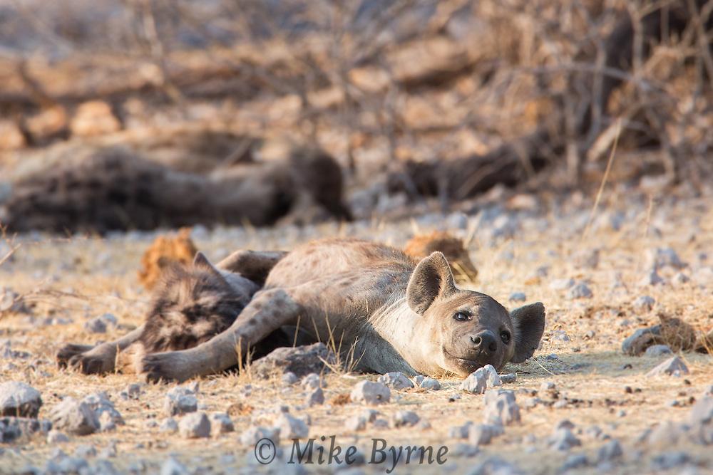 Spotted hyena near Namutoni, Etosha National Park, Namibia.