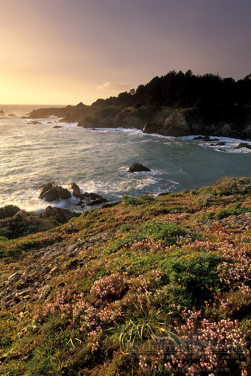 Coastal wildflowers at sunset on bluff above ocean, Stillwater Cove Regional Park, Sonoma Coast, California