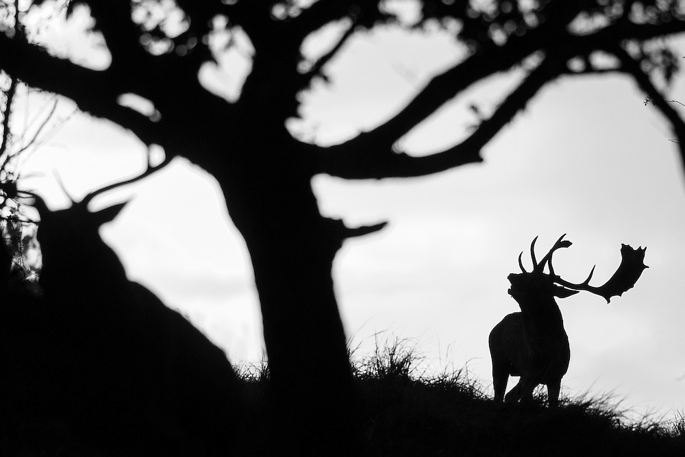 Fallow Deer (Dama dama) stag bellowing during the rut chasing off other male