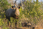 Black Rhino mother and calf, Mkhaya Game Reserve, Swaziland