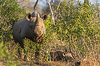 Black Rhino mother and calf, Mkhaya Game Reserve, Swaziland