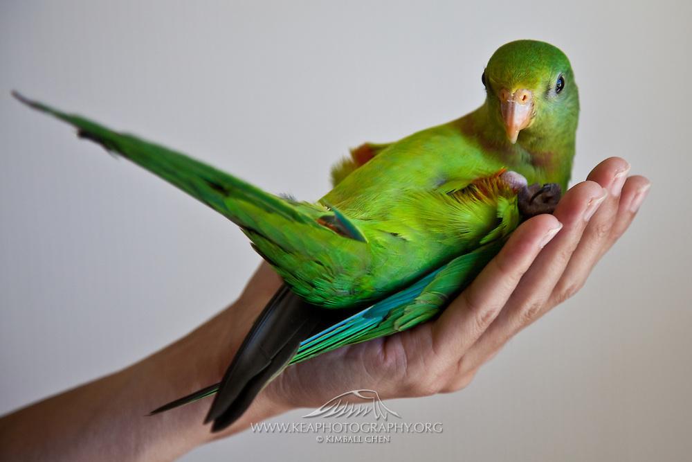 Superb Parrot (aka Barraband's Parrot)