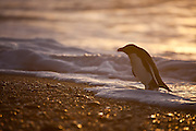 Fiordland Crested Penguin, West Coast, Westland, New Zealand