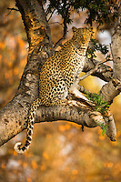 Leopard, Panthera pardus, posing in a tree in early morning light, with a dry, yellow coloured mopane tree in the background to pick up the colour of the cat. From Okovango in Botswana.