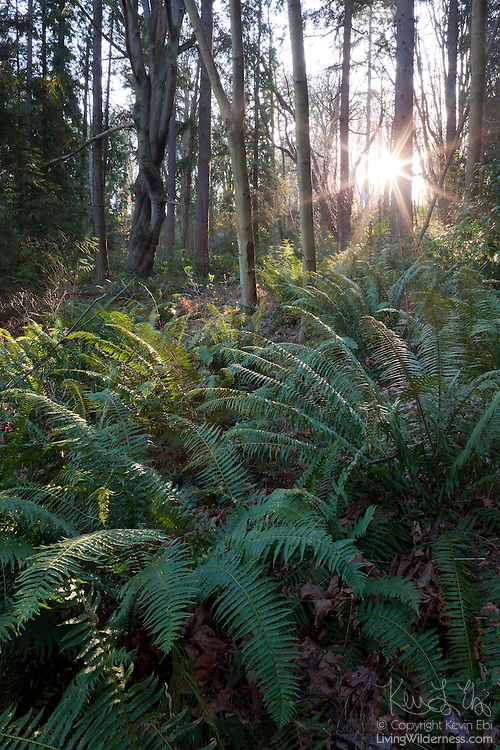 The late afternoon sun shines onto Western sword ferns in the forest of Discovery Park in Seattle.