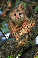 Gray fox kit climbing a tree