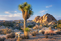 Jumbo Rocks and Joshua Tree (Yucca brevifolia), Joshua Tree National Park California