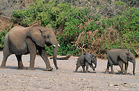 Three African Elephants (Loxodonta Africana) in a row