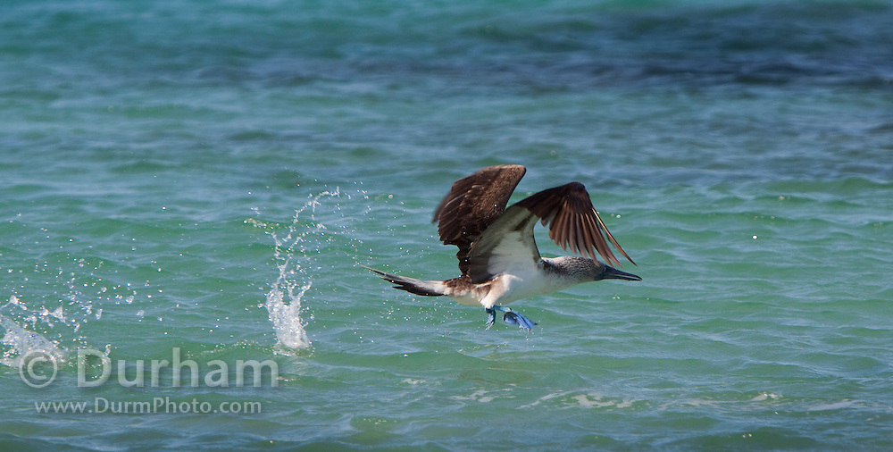 A blue-footed boobie (Sula nebouxii) taking off after diving into the ocean. Near Santa Cruz Island, Galapagos archipelago, Ecuador.