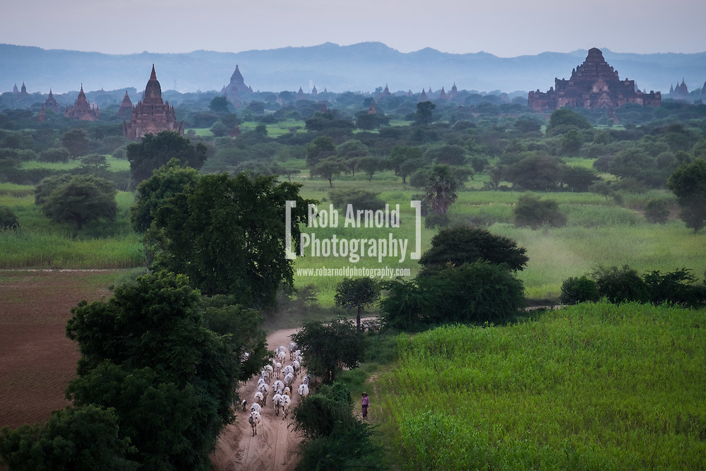 A cattle herder moving her cattle through the narrow dirt tracks in Bagan at dusk.
