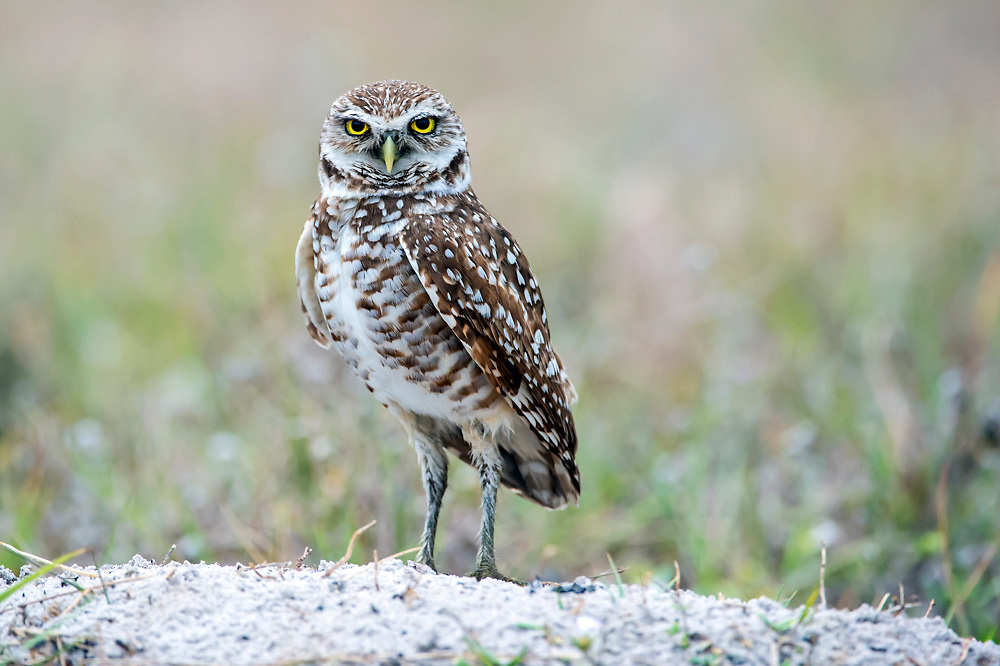 A Burrowing Owl, Athene cunicularia, rests near its burrow in the city of Boca Raton, Florida, United States.