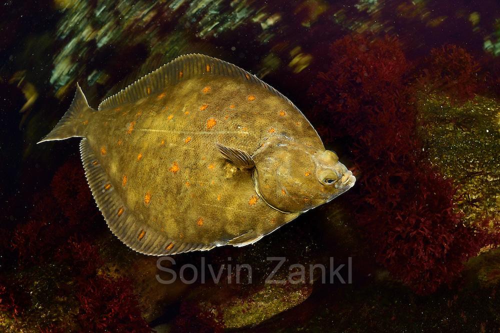 [captive] European plaice (Pleuronectes platessa) | Scholle (Pleuronectes platessa) Multimar Wattforum in Tönning