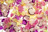 A composition of many different colored carnation petals