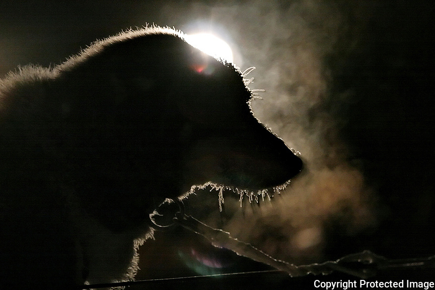 One of Aaron Burmeister's dogs waits for the go signal on Sunday night at the Carmacks checkpoint.