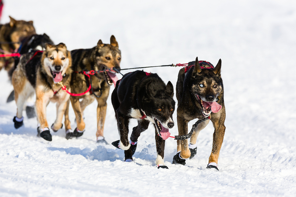 Musher Jan Steves' dogs competing in the 41st Iditarod Trail Sled Dog Race on Long Lake after leaving the Willow Lake area at the restart in Southcentral Alaska.  Afternoon.