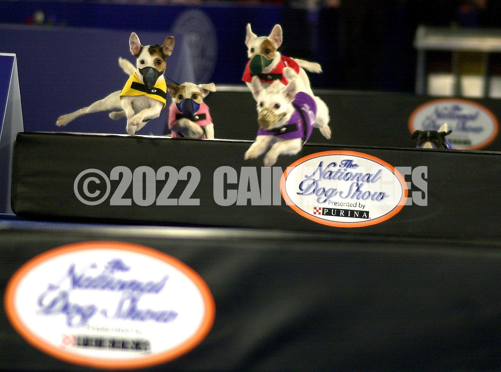 A group of dogs perform in the Jack Russell Hurdle Racing Demonstration during the National Dog Show presented by Purina, Saturday, November 16, 2002, in Fort Washington, Pennsylvania. The show is scheduled to be broadcast Thanksgiving Day on NBC. (Photo by William Thomas Cain/photodx.com)