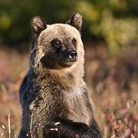 grizzly bear cub, glacier national park, montana