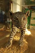 Mounted Arabian leopard (Panthera pardus nimr).
