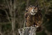 Eurasian Eagle Owl at the Center for Birds of Prey November 15, 2015 in Awendaw, SC.