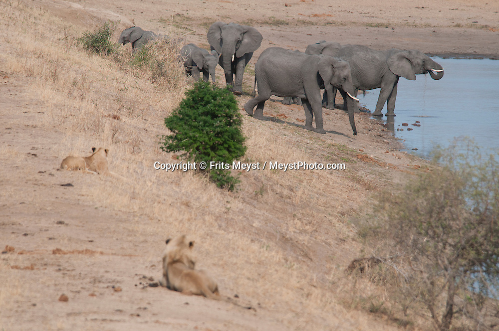 Kruger National Park, Mpumalanga, South Africa, september 2011. A herd of elephants chace away a pride of lions at the water hole. Bordered by Mozambique and Zimbabwe, Krugerpark is about 65km wide and 350km long. It is south Africa's largest National Park and one of the world's best known nature conservation areas. From your own vehicle, on tarmac and dirt roads, you can get up close and personal experiences with the enormous wildlife diversity. Photo By Frits Meyst/Adventure4ever.com.
