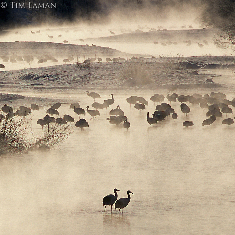 Japanese or red-crowned cranes in standing in water with morning mist.