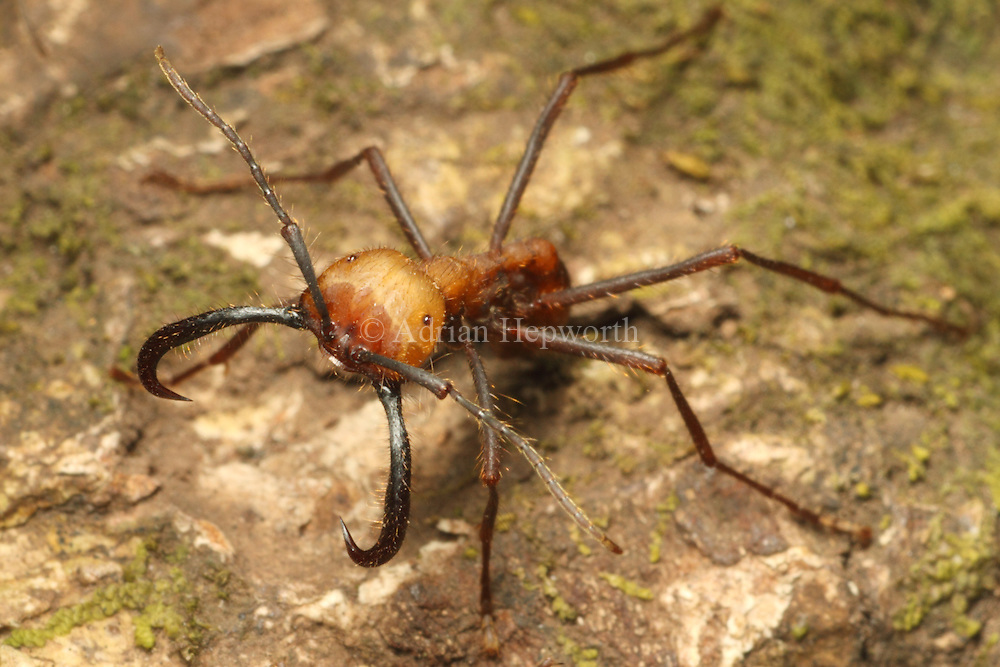 Army ant (Eciton sp.) soldier. Rainforest in Rincon de la Vieja National Park, Costa Rica. <br />