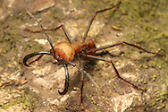 Army ant (Eciton sp.) soldier. Rainforest in Rincon de la Vieja National Park, Costa Rica. <br /> <br /> For pricing click on ADD TO CART (above). We accept payments via PayPal.