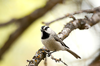 A Mountain Chickadee perched on a branch watches as insects fly by and if they do it will fly out and grab them out of the air.