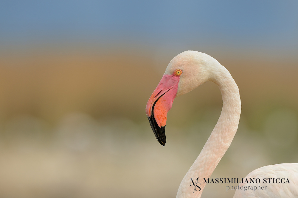 The Greater Flamingo (Phoenicopterus roseus) is the most widespread species of the flamingo family. It is found in parts of Africa, southern Asia (coastal regions of Pakistan and India), and southern Europe (including Spain, Albania, Turkey, Greece, Cyprus, Portugal, Italy and the Camargue region of France). Some populations are short distance migrants, and sightings north of the breeding range are relatively frequent; however, given the species' popularity in captivity, whether or not these are truly wild individuals is a matter of some debate. A single bird was seen on North Keeling Island (Cocos (Keeling) Islands) in 1988. The Greater Flamingo is the state bird of Gujarat, India.