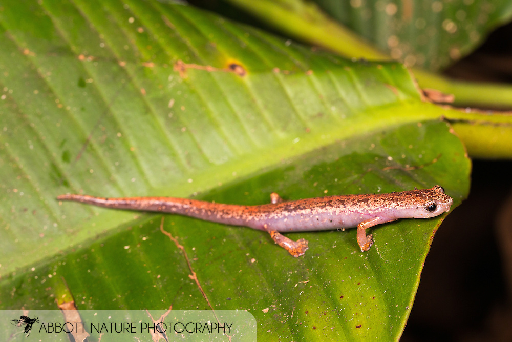 Slender Salamander, Tropical Climbing Salamander, or Web-footed Salamander (Bolitoglossa sp.)<br /> BELIZE: Cayo District <br /> Ian Anderson's Caves Branch Lodge near Armenia<br /> 7-Sep-2014<br /> J.C. Abbott &amp; K.K. Abbott
